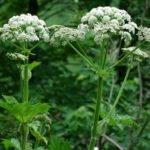борьба с борщевиком гербицидами
