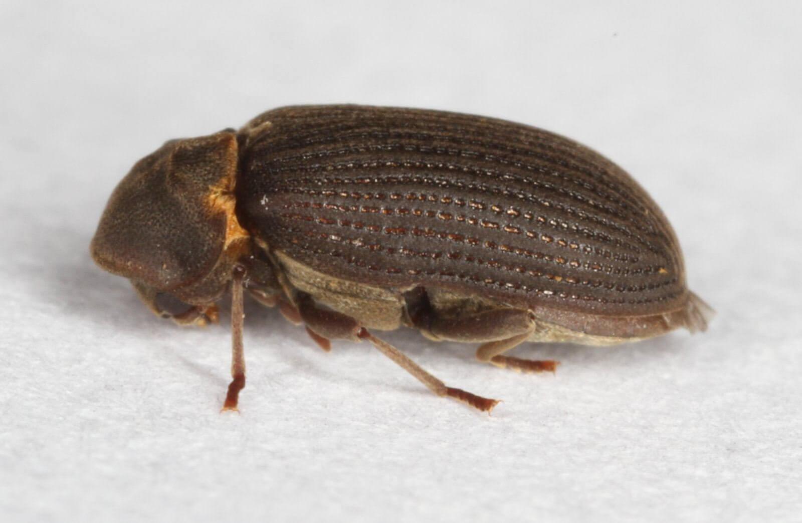 древесные жуки картинки вам желаю родить